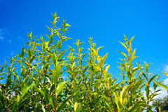 Green leaves of willow branches against the blue sky. stock photos