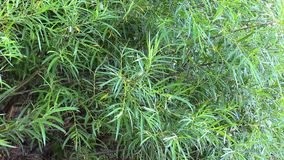 Green leaves of willow tree sway in wind stock video footage