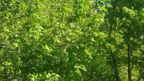 Green leaves and wind. Bright green leaves of a deciduous tree fluttering in the wind stock video