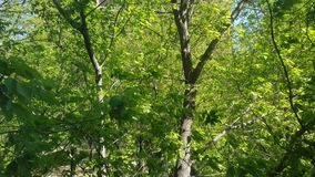 Green leaves and wind. Bright green leaves of a deciduous tree fluttering in the wind stock video footage