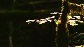 Green leaves in the wind, close-up on a black background. Green leaves in the wind, close-up on a black background stock video footage