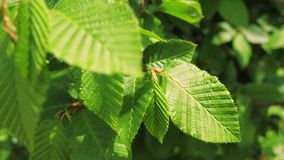 Green leaves on a tree in spring. Green leaves in the wind. spring leaves bloomed stock video footage