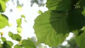 Green leaves in the wind. Sunlight breaks through the green leaves swaying in the wind stock video footage