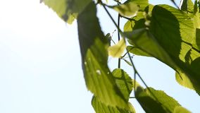 Green leaves in the wind with sunshine. On a clear blue sky, HD 1080 stock video