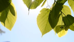 Green leaves in the wind with sunshine. On a clear blue sky, HD 1080 stock footage