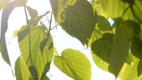 Green leaves in the wind with sunshine. Green vine leaves in the wind with sunshine and clear sky close-up stock video footage