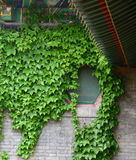 Green leaves. The window is covered by green leaves Royalty Free Stock Photos