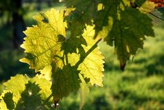 Green leaves of Wineyards in Tuscany, Chianti, Italy. Wineyards in Tuscany, vinegrapes, and leaves vine. Chianti region, in Tuscany, Italy stock images