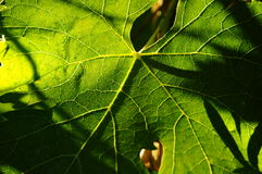 Green Leaves in a Wineyards in Tuscany, Chianti, Italy. Wineyards in Tuscany, vinegrapes, and leaves vine. Chianti region, in Tuscany, Italy stock images
