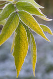 Green Leaves With Frost Stock Images