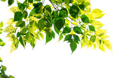 Green Leaves With Sun On White Background Royalty Free Stock Photography