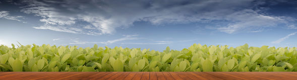 Green leaves and wood floor. Beautiful panorama Green leaves and wood floor Royalty Free Stock Image