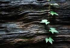 Green leaves on wood texture Stock Images