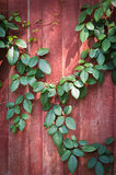 Green leaves on wooden wall Stock Photos