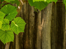 Green leaves on wooden wall Royalty Free Stock Image