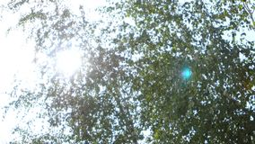 Green leaves in the woods. Birch. Looking up at green leaves in the woods, birch with lush green leaves growing in the forest, deciduous forest, sun breaks stock footage