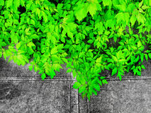 Green Leaves and Worn Concrete Royalty Free Stock Photography