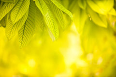 Green leaves on yellow background. Green leaves on light reflection background Royalty Free Stock Photography