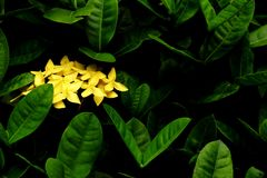 Green leaves and Yellow flowers background. leaves in dark tone. Green leaves and Yellow flowers background. Green leaves color tone dark  after raining in the Stock Image