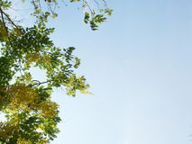 Green leaves and yellow flowers. The sky is blue.In the spring Royalty Free Stock Photos
