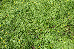 Green leaves, yellow flowers and wilted leaves. Fresh green leaves, yellow flowers and some wilted leaves of the previous year in the shadow of nearby trees on a Royalty Free Stock Image