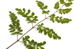 Green Leaves and Yellow Speckles of  Moringa Tree 4 Royalty Free Stock Images