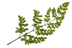 Green Leaves and Yellow Speckles of  Moringa Tree 5 Royalty Free Stock Image
