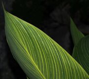 Green Leaves With Yellow Stripes. In both foreground and background Royalty Free Stock Images