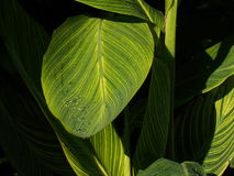 Green Leaves With Yellow Venation. In sunshine Royalty Free Stock Photo
