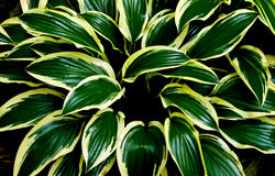 Green leaves with yellowish rims. Strong colors and textures of the glossy leaves of a garden plant Hosta Stock Image