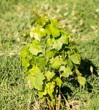Green leaves of a young grape plant.  Royalty Free Stock Image