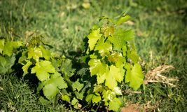 Green leaves of a young grape plant.  Royalty Free Stock Images