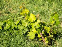 Green leaves of a young grape plant.  Royalty Free Stock Photos