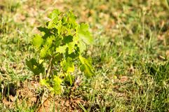 Green leaves of a young grape plant.  Stock Images