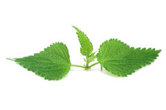 Green leaves of young nettles Stock Photos