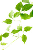 Green leaves of a young plant are isolated Royalty Free Stock Images
