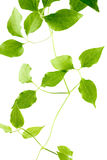 Green leaves of a young plant are isolated Royalty Free Stock Photo