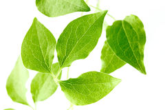 Green leaves of a young plant are isolated Stock Photography