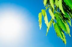 Green Leavesand Sun Royalty Free Stock Image