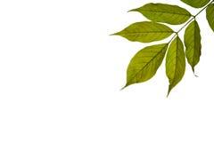 Green Leavs Stock Image