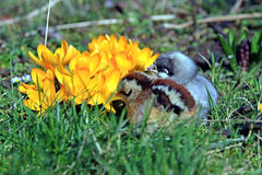 Green-legged Partridge And Dominant Blue Chicks. In the garden with crocuses royalty free stock photos