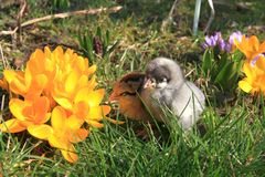 Green-legged Partridge And Dominant Blue Chicks. In the garden with crocuses stock photography