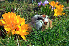 Green-legged Partridge And Dominant Blue Chicks. In the garden with crocuses stock image