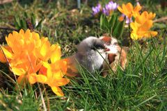 Green-legged Partridge And Dominant Blue Chicks. In the garden with crocuses stock photo