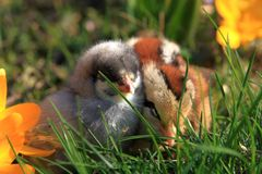Green-legged Partridge And Dominant Blue Chicks. In the garden with crocuses royalty free stock image