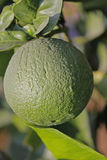 Green lemon. Limon, Citrus on branch, Miao, Arunachal Pradesh, India Royalty Free Stock Photo