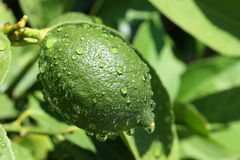 Green lemon. On tree after rain on blurred background Stock Images