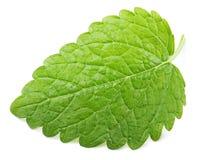 Green lemon balm leaf (Melissa officinalis) on white Stock Photography