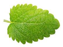 Green lemon balm leaf (Melissa officinalis Stock Image