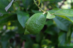 Green Lemon Royalty Free Stock Photo